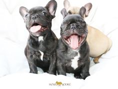 Happy French Bulldog Puppies