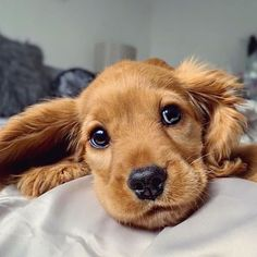Animals And Pets, Baby Animals, Cute Animals, Cute Dogs And Puppies, Baby Dogs, Beautiful Dogs, Animals Beautiful, Sweet Dogs, Cockerspaniel
