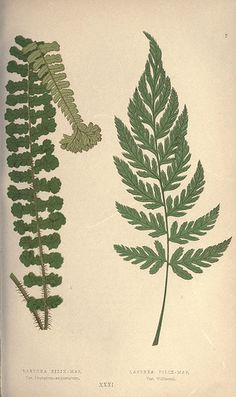 n314_w1150 - Our native ferns, or, A history of the British species and their varieties /. London :Groombridge,1865-1867..