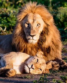 """cynosure — bigcatslions: Photography Bobby-Jo Clow """"This. Beautiful Lion, Animals Beautiful, Cute Animals, Lion Pictures, Animal Pictures, Big Cats, Cats And Kittens, Image Deco, Cats And Cucumbers"""