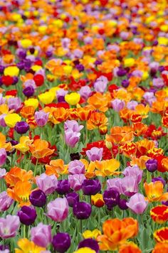From a Facebook page called Slice of Life.  All my favorite colors in one tulip meadow.
