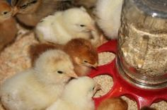 Raising Laying Hens From Chicks: A Step By Step Guide