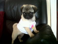 I love the mini t-shirt on this pug puppy!