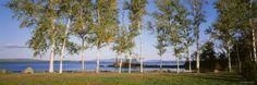 Birches - Moosehead