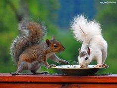 Albinos have red eyes. The various other is a white morph, triggered by a various genetics. It is a normally happening attribute of eastern grey squirrels that is extremely, extremely uncommon.