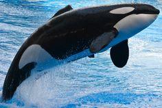 Killer whale, Orcinus orca