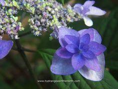 Hydrangea serrata 'Purple Tiers'
