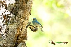 Mountain Bluebird, Bluebird Photograph, Songbird Images, Nature Photography, Wildlife Photographs, Bird Photographs, Bluebird Pictures, Bird