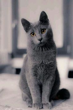 Gray cat with amber eyes