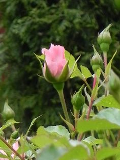 suloinen vaaleanpunainen ruusu lovely pink rose