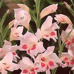 gladiolus_elvira_f1e884da-cda1-4304-8278-78c7b699b508_1024x.jpg (920×920)
