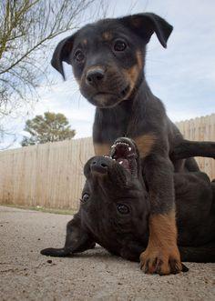 Black Labrador Retriever/Rottweiler Mixes: Adoptable dogs in Tucson, AZ    www.petfinder.com...