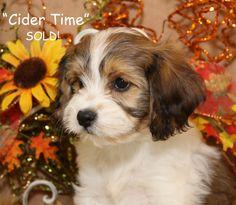 Cavachon puppy Foxglove Farm Cider Time
