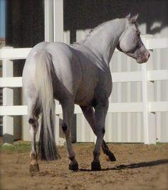 Pal Cavalcade 2006 POA Stallion