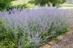 Russian Sage Details and Photos