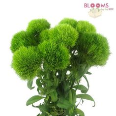 Wholesale Dianthus Green Trick - Green Carnation Ball - Blooms by the Box Shade Flowers, Green Flowers, Flowers Garden, Colorful Flowers, Dianthus Flowers, Green Carnation, Pantone Greenery, Country Garden Weddings, Spring Wedding Flowers