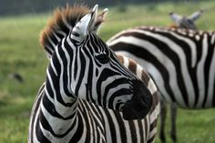Zebra are always on the lookout for lion in the Great Rift Valley. Join Wilderness Inquiry on a Kenya Wildlife Safari!