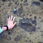 Yeah-- those are some BIG brown bear tracks.....Katmai National Park, Alaska