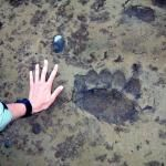 Yeah-- those are some BIG brown bear tracks.....Katmai National Park, Alaska