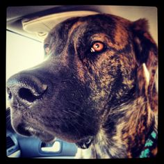 8 month old brindle Great Dane X Mastiff (daniff) puppy.....so Monty is a daniff