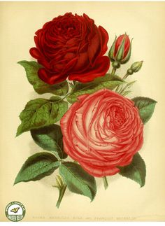 Roses hort. 'Reynolds hole' and 'Francois Michelon.' The garden. An illustrated weekly journal of horticulture in all its branches [ed. William Robinson], vol. 11- (1877)