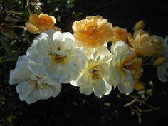R.helenae-Sämling 'Christine Hélène'. Die Knospen erblühen in warmen Dottergelb. Dann verblassen die Blüten zu creme-weissen Röschen mit gelben Staubgefässen. Diese wunderschöne Aufnahme verdanken wir Udo Karl.