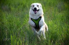 Happy Shiba on the run - Beautiful Shiba Shiba, Running, Happy, Animals, Beautiful, Animales, Animaux, Keep Running, Why I Run