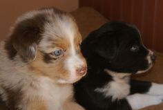 Red merle and black bi Aussie puppies Australian Shepherd Puppies, Aussie Puppies, Australian Shepherds, Aussies, Doggies, Corgi, Best Friends, Mini, Awesome