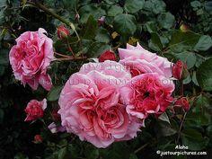 Aloha climbing rose fragrant, repeat blooming.