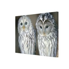 ==> reviews          Portrait of owls gallery wrap canvas           Portrait of owls gallery wrap canvas lowest price for you. In addition you can compare price with another store and read helpful reviews. BuyHow to          Portrait of owls gallery wrap canvas please follow the link to see...Cleck Hot Deals >>> http://www.zazzle.com/portrait_of_owls_gallery_wrap_canvas-192983990901039945?rf=238627982471231924&zbar=1&tc=terrest