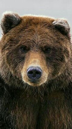 Gorgeous Grizzly Bear!!