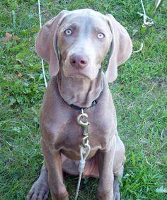 Kix the Weimaraner- an absolute doppelgänger of my gorgeous boy Benson!
