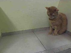 www.PetHarbor.com pet:NWYK.A0100858 Poor baby is owner surrender because he soils out of the litter box,look how this poor soul looks do dejected.