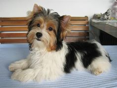 The Parti Yorkie is a variation of purebred Yorkshire terrier, with different coloring. Here are the differences between a parti yorkie vs yorkie vs biewer Yorkie Terrier Mix, Yorshire Terrier, Yorkshire Terrier Puppies, Pitbull Terrier, Wheaten Terrier, Border Terrier, Boston Terrier, Lucas Terrier, Dog Breeds