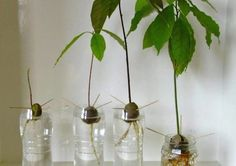 Grow Avocado Plant from Seed in Pit