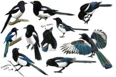 Magpies would be a very personal and unique bird choice I hadn't thought of before..hmm.