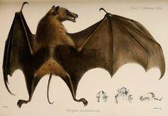 Rudawka /Notopteris macdonaldi/ (Gray 1859)