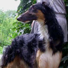 BARZOJ ruské plemena psov - Hľadať Googlom