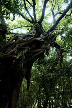 Ficus microcarpa at Yakushima by Kooky Maverick, via 500px