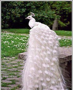 Awesome pic of a peacock in Australia! THANKS Conny!✨✨✨