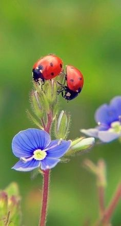 ladybug and blue flower so delicate. Beautiful Creatures, Animals Beautiful, Cute Animals, Beautiful Bugs, Beautiful Flowers, Photo Coccinelle, Bugs And Insects, Macro Photography, Nature Photos