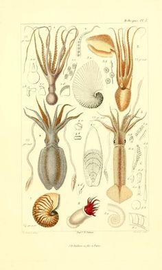 Les mollusques : décrits et figurés d'après la classification / de Georges Cuvier. By:Cuvier, Georges,Publication info: Paris :J. B. Baillière,1868. BioDiv