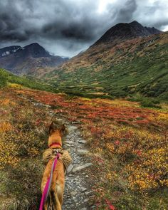 """""""Star enjoying the beautiful fall colors on our two day trip on the Crow Pass Trail, a 25 mile hike just outside of Anchorage, AK.  @ruffwear #dog…"""""""