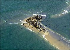 "Seals in Chatham, MA ""Cape Cod"", there were thousands on Monomoy Island"