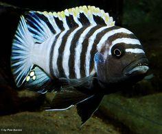 Malawi-Guru | Malawisee Aquaristik - Innerartliche Aggression - Malawisee Buntbarsche