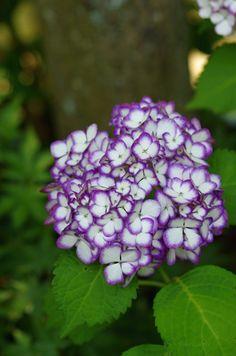 紫陽花あじさい Hydrangea