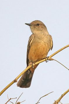 Say's Phoebe | by Alan Gutsell