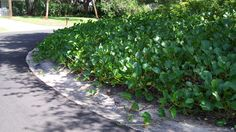 Ipomoea pes-caprae or Railroad vine is a very fast growing native. Great when used to cover large areas you do not wish to mow. Typically found in coastal areas as it tolerates extreme drought, poor soils, salt and wind.