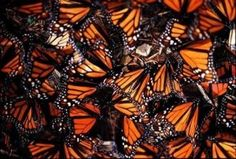 California: Pismo Beach. Up to 25,000 migrating monarch butterflies seek shelter here, gathering in waterfront eucalyptus trees October to March.
