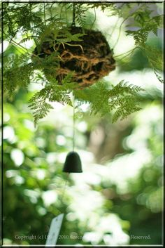 Tsuri-shinobu 釣りしのぶ - Japanese Davallia mariesii (squirrel's foot fern) hanging ball with/without wind chime. This is a characteristic scene of the summer in Japan.
